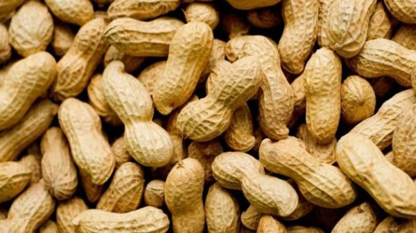 Groundnuts Peanut(Moong Fali)   is  a legume crop of the global importance. It is also one of the best sources of protein. It is not like walnuts .